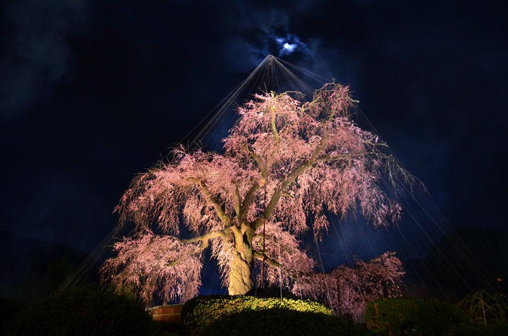 月夜の祇園しだれ © 鈴電